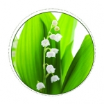 LILLY OF THE VALLEY / Muguet